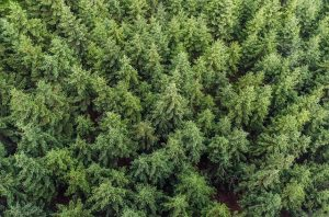 evergreen conifers in forest